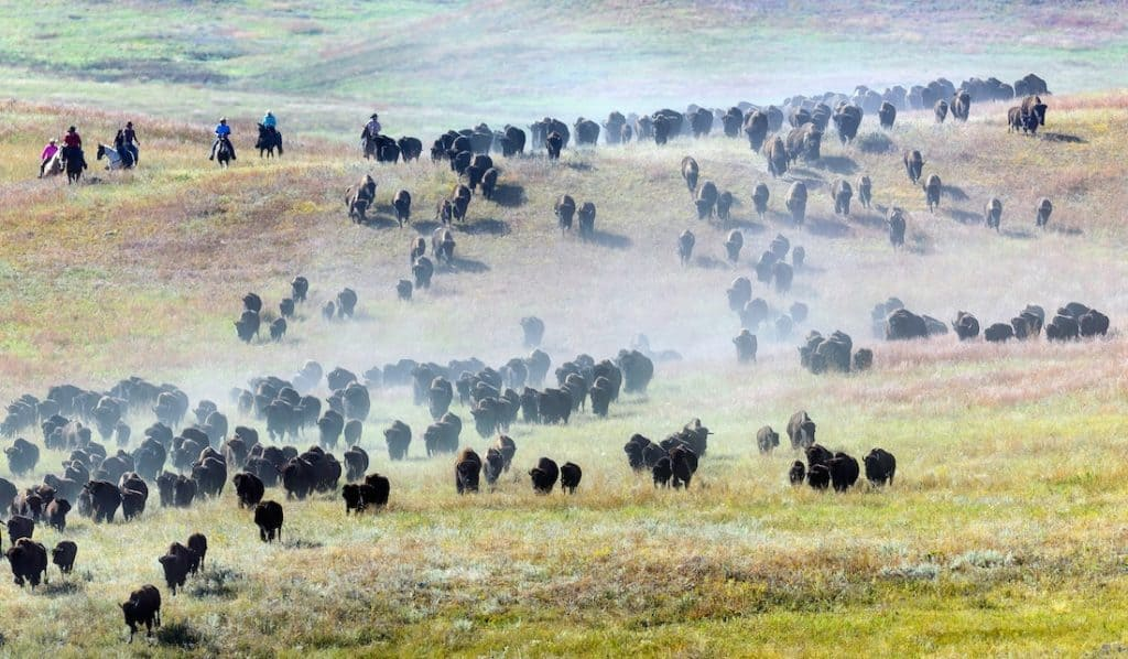 Custer State Park, Buffalo Round Up