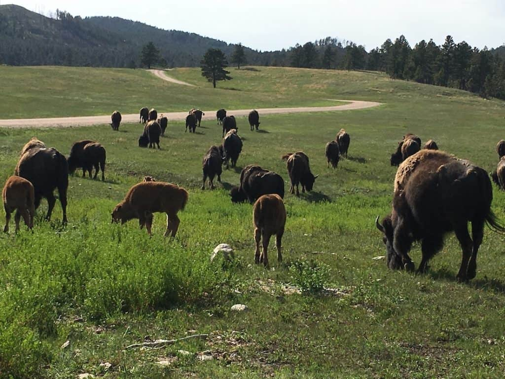 Wildlife Loop, Custer State Park, Custer State Park for families,