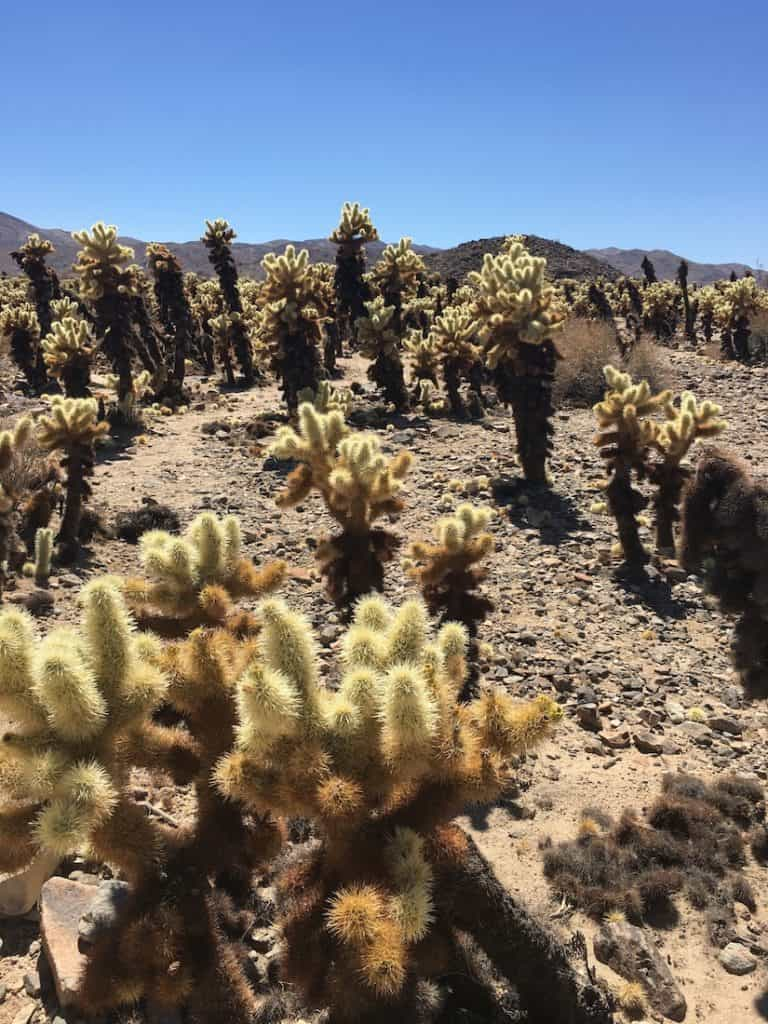 Killer Snakes And Cuddly Cactus Found In Joshua Tree Joshua Tree National Park With