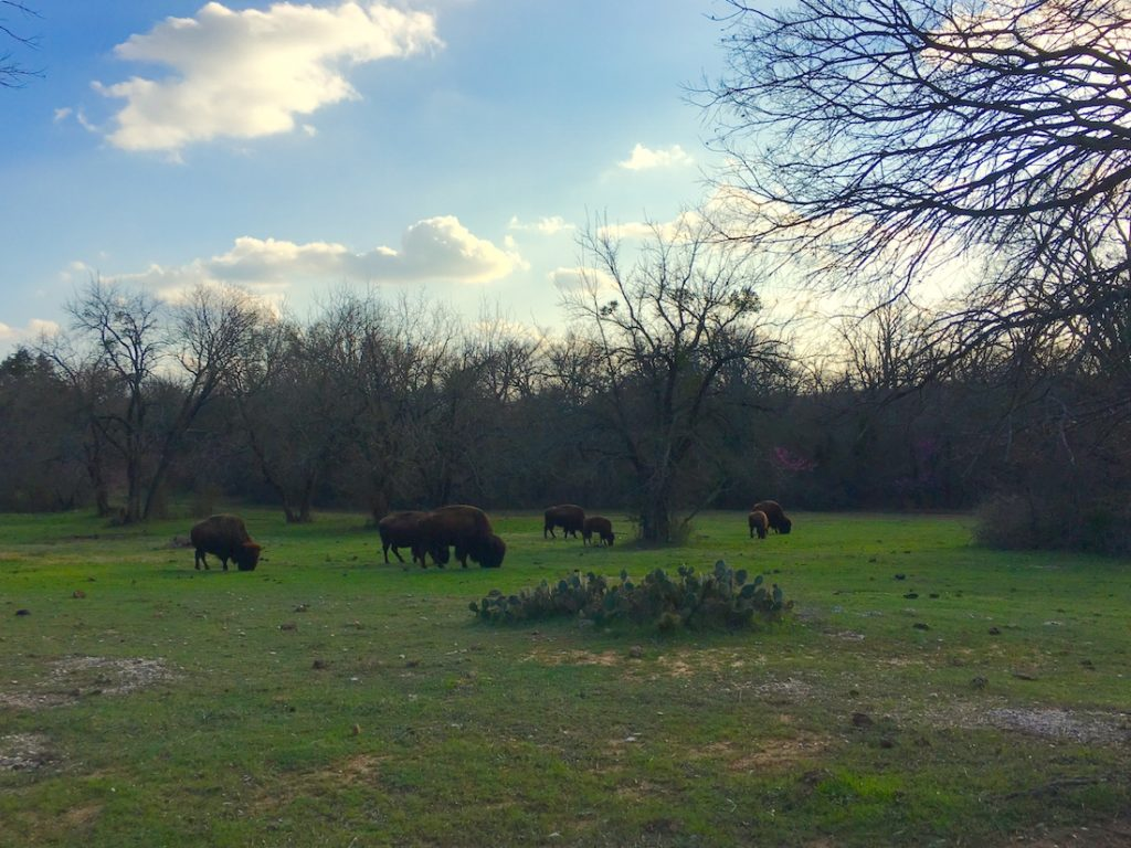 Stop by and see the bison as one of the things to do in Sulphur.