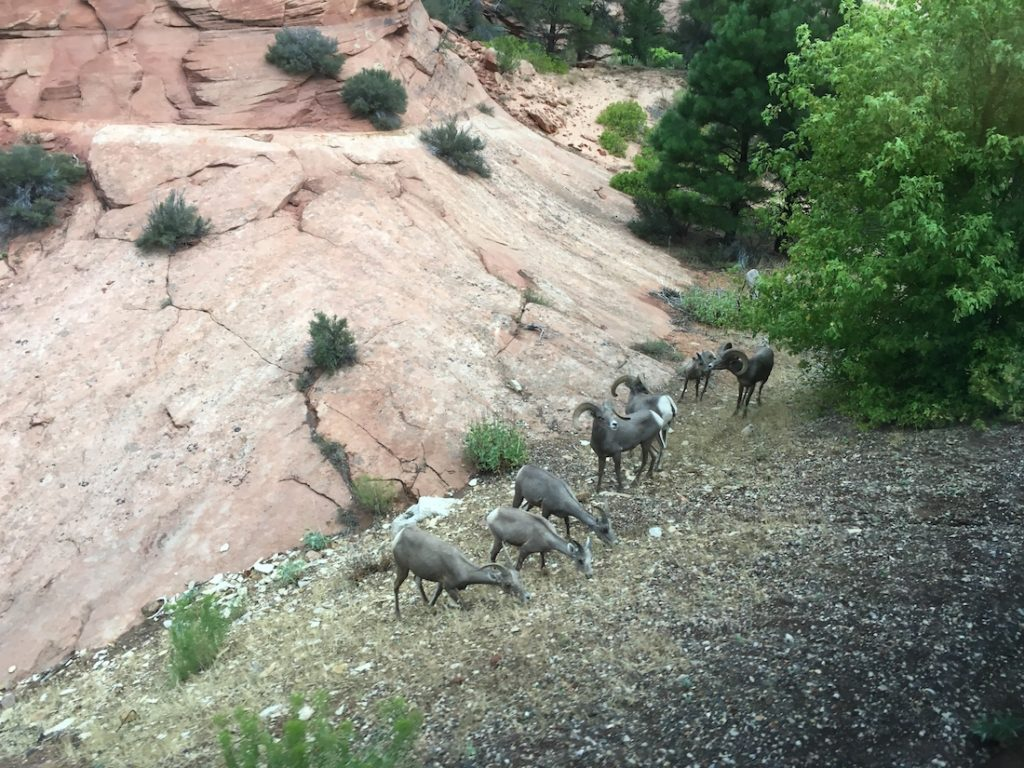 See goats while exploring Zion National Park with kids.