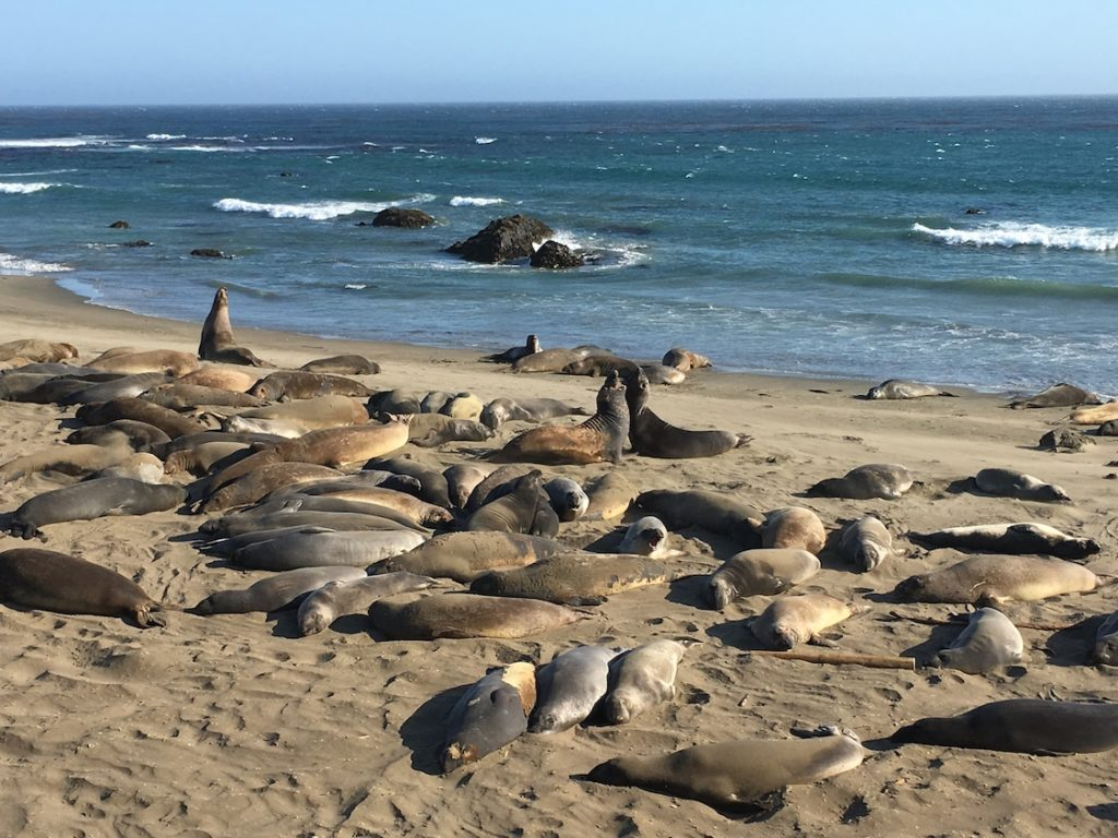 Seals of San Simeon. Top beaches in the US for families.