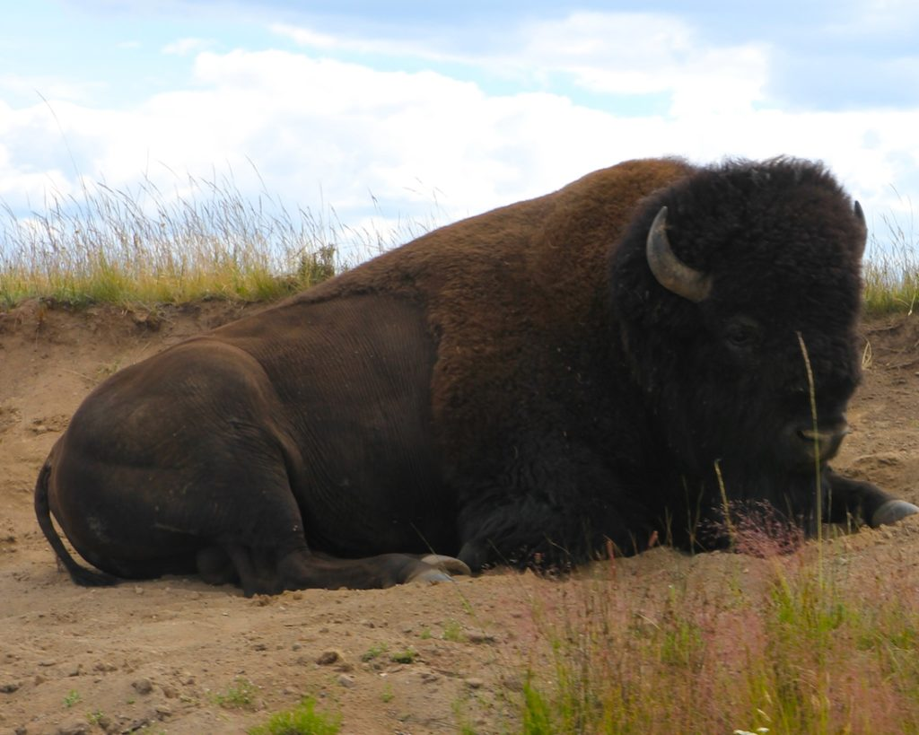 Find animals. What to see in Yellowstone National Park with kids.