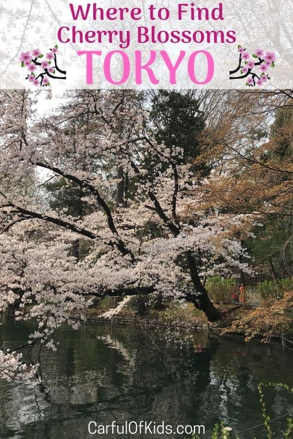Springtime in Japan is a celebration of flowers. Starting in late February and continuing until late May, find a park or attend a festival with special food. Read on for where to see Cherry Blossoms in Tokyo. #Japan #Tokyo #CherryBlossoms