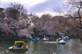 Where to see Cherry Blossoms in Tokyo with kids
