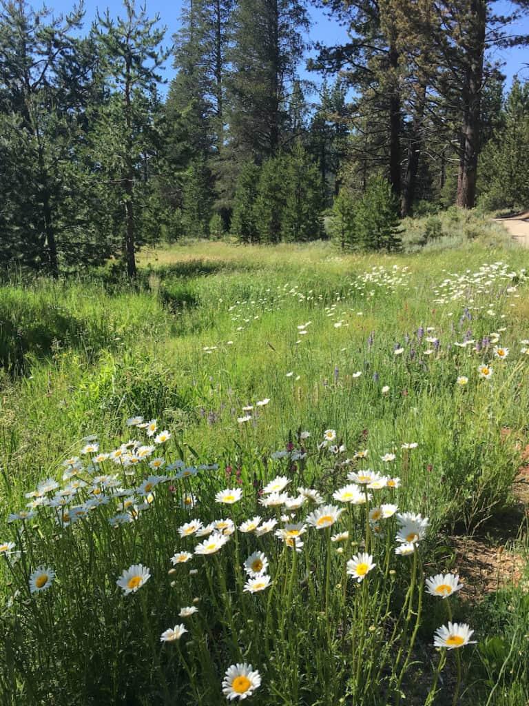 Wildflowers in Lake Tahoe
